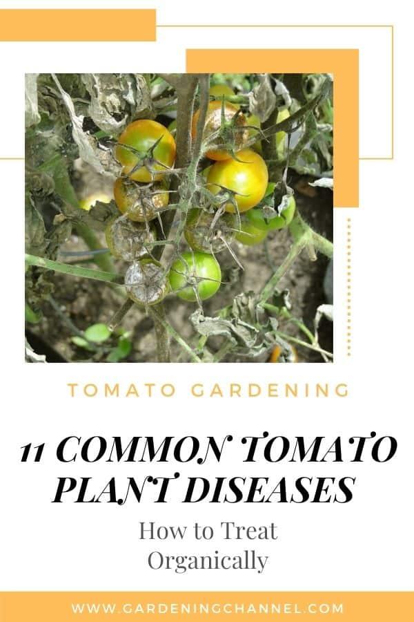 tomato blight with text underlay tomato gardening eleven common tomato plant diseases