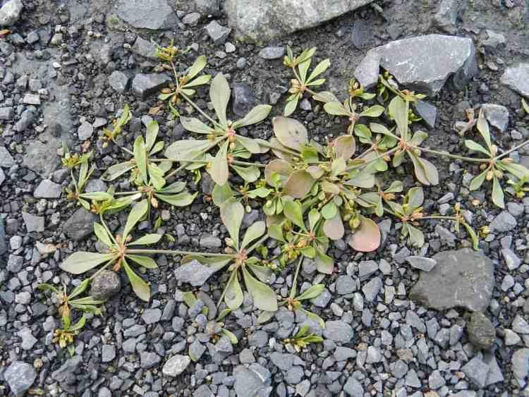 Carpetweed - Mollugo Verticillata