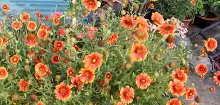 dwarf blanket flower