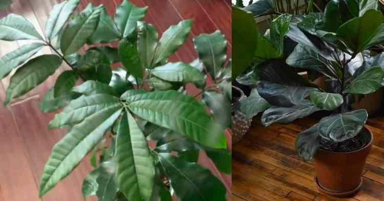 indoor trees to grow
