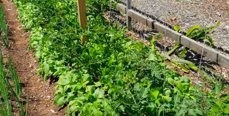 interplanting crops