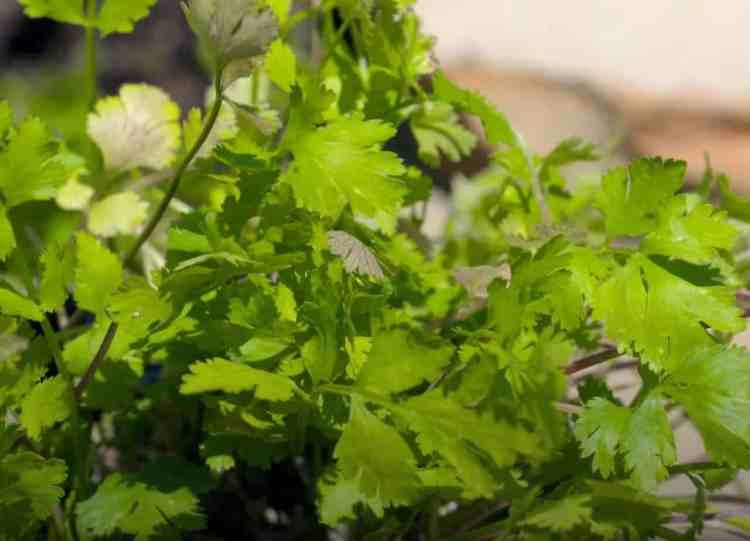 growing cilantro plant