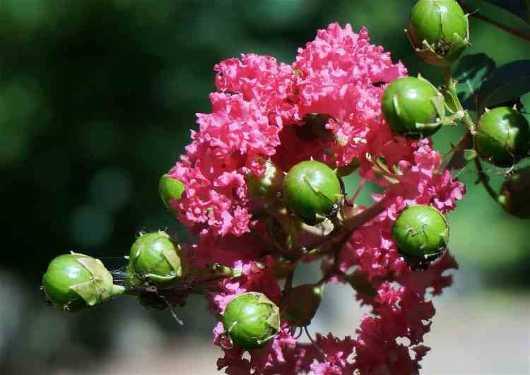Crepe Myrtle with seed pods