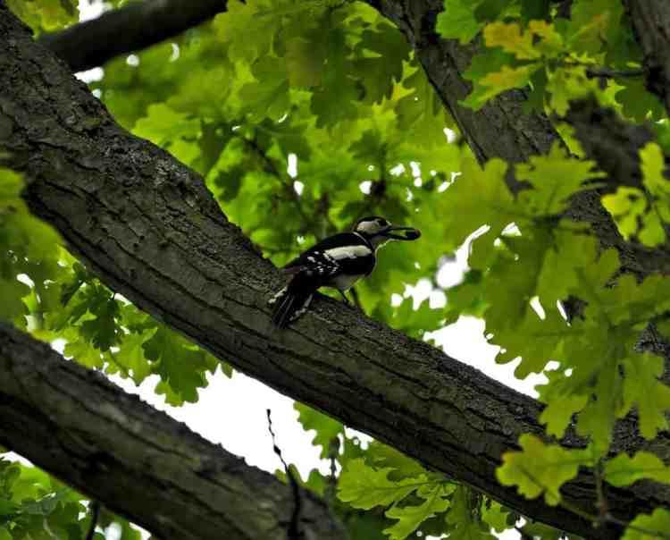 woodpecker in oak tree