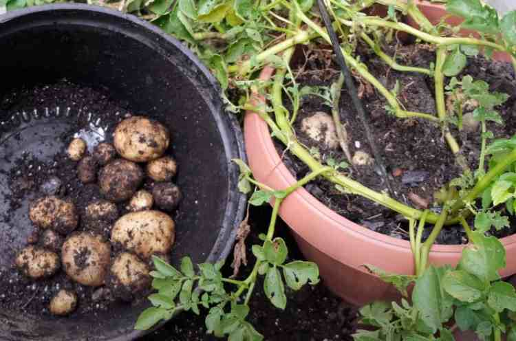 harvest of potatoes from a container