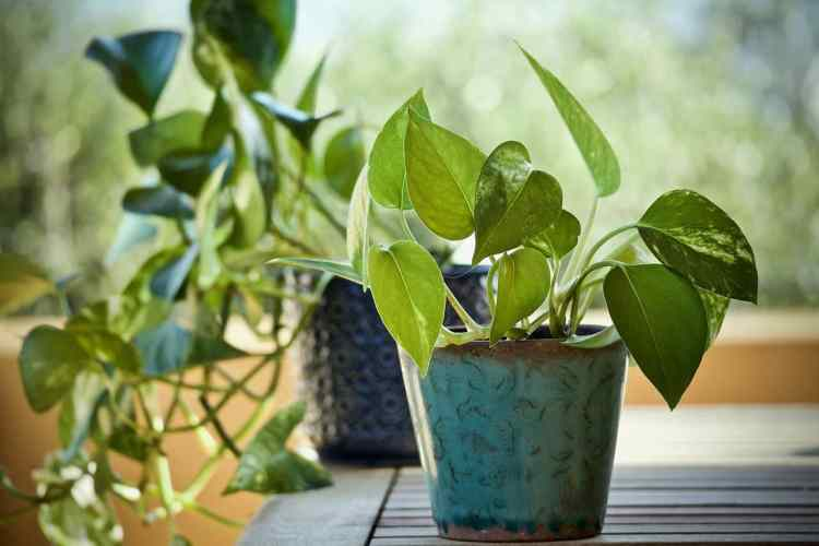 Pothos/Money Plant/Devil's Ivy