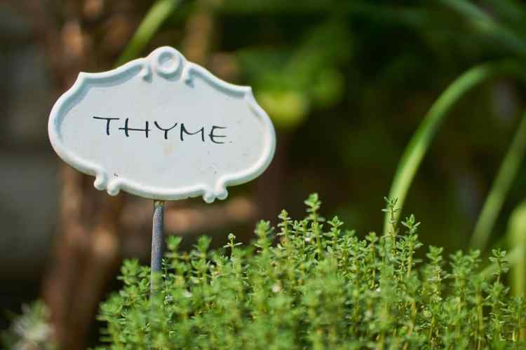 thyme plant growing