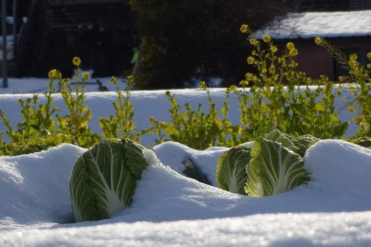 cabbage in snow