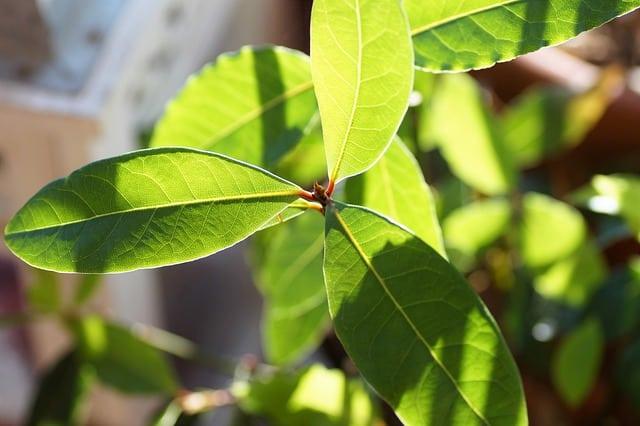 growing bay laurel indoors