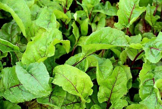 growing beetroot greens