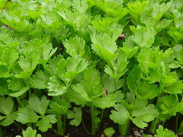 growing celery in the garden