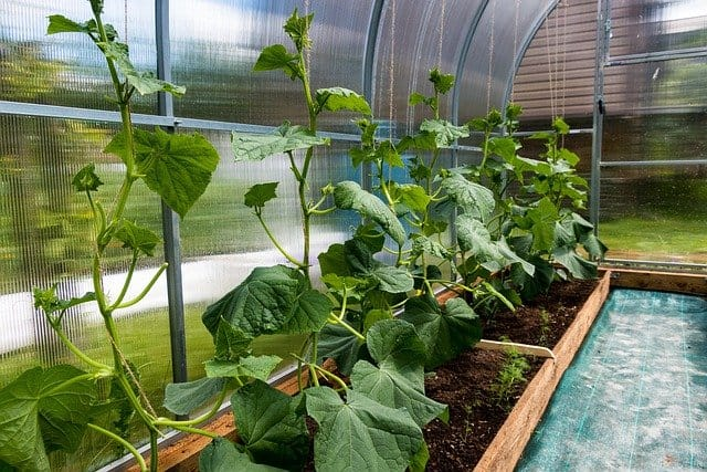 growing cucumbers in the greenhouse