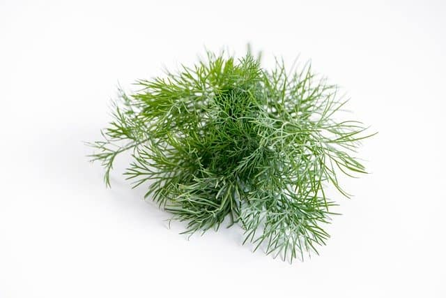 dill harvested
