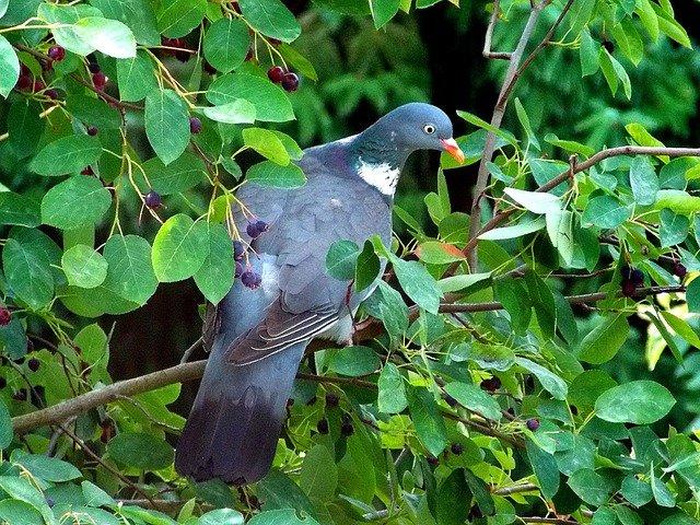 dove in shadbush