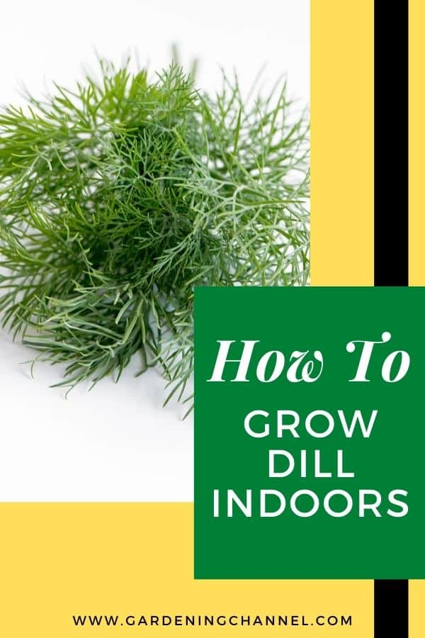 dill harvested with text overlay how to grow dill indoors