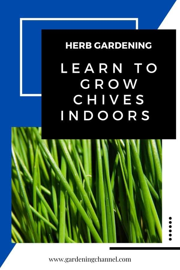 harvested chives with text overlay herb gardening learn to grow chives indoors