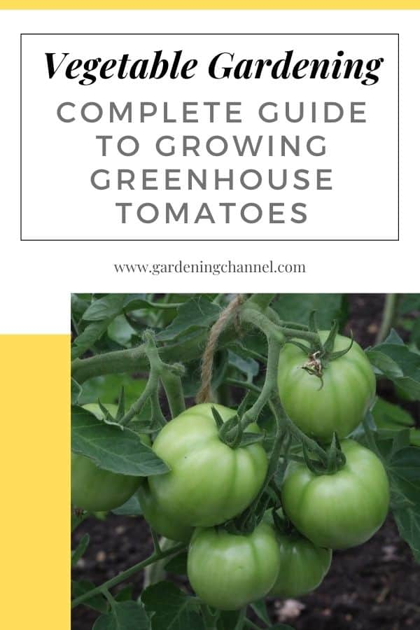 greenhouse tomato plants with text overlay vegetable gardening complete guide to growing greenhouse tomatoes