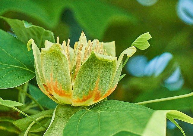 fast growing tulip tree