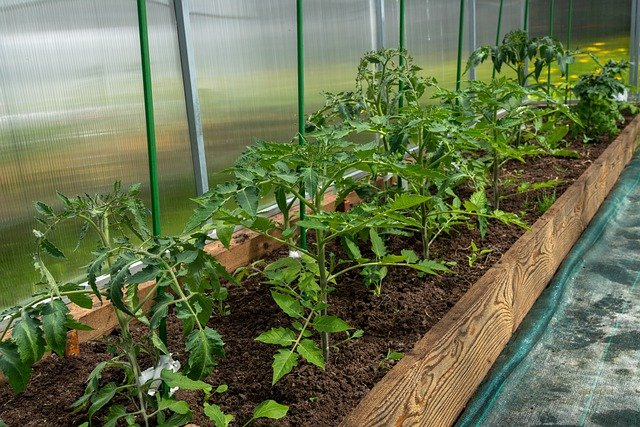 growing tomatoes greenhouse