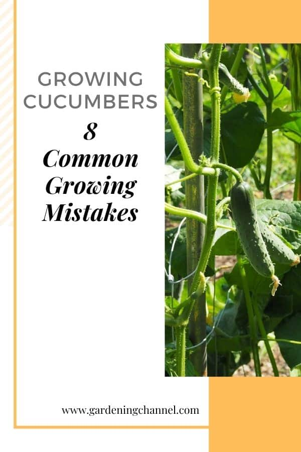 cucumbers in garden with text overlay growing cucumbers eight common growing mistakes