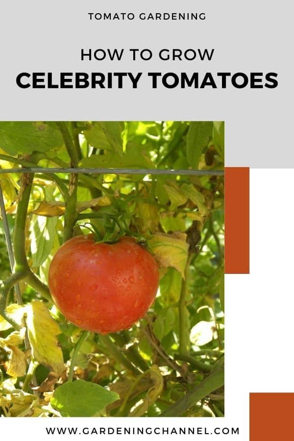 celebrity tomato in the garden with text overlay tomato gardening how to grow celebrity tomatoes