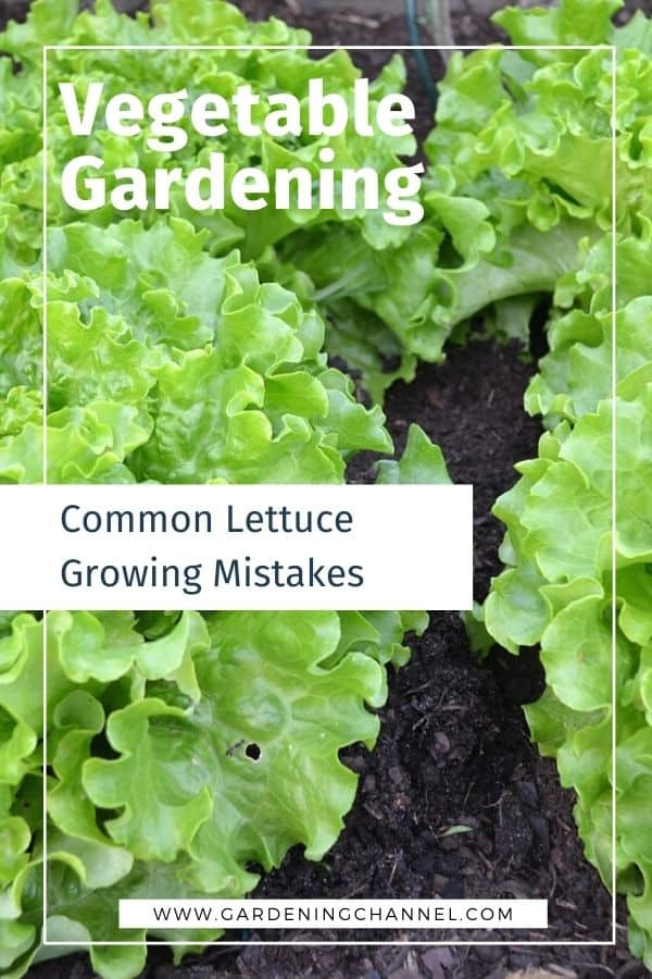 lettuce in garden with text overlay vegetable gardening common lettuce growing mistakes