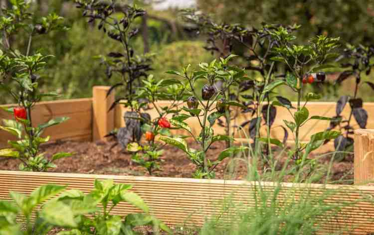 raised bed garden with peppers