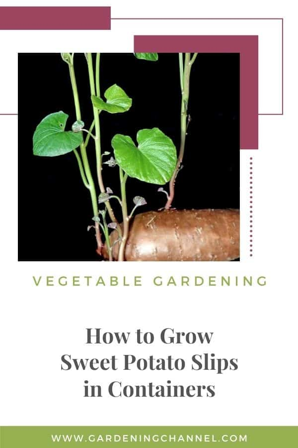 sprouting sweet potato with text overlay vegetable gardening how to grow seet potato slips in containers