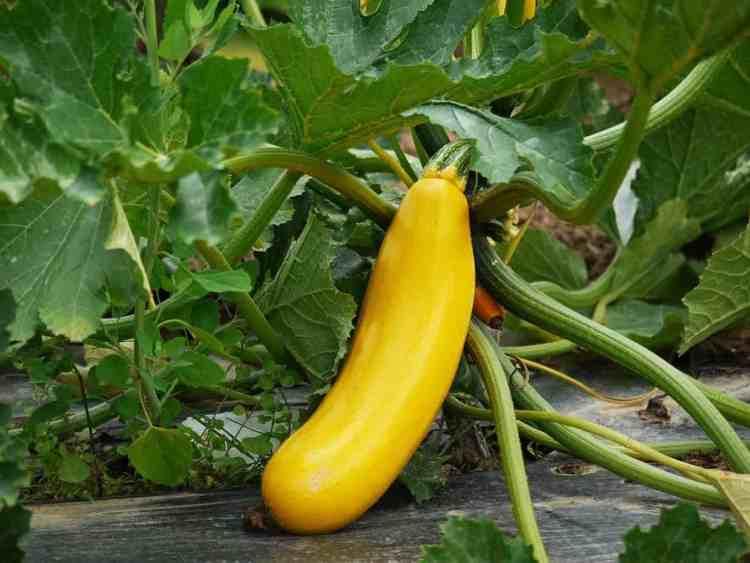 yellow squash growing
