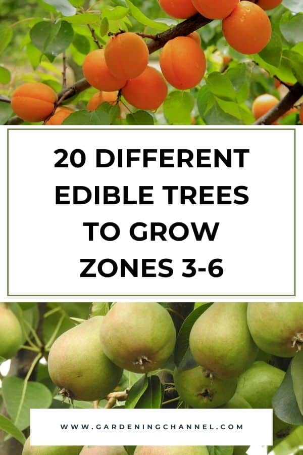 apricot and pear trees with text overlay 20 Different Edible Trees to Grow Zones 3-6