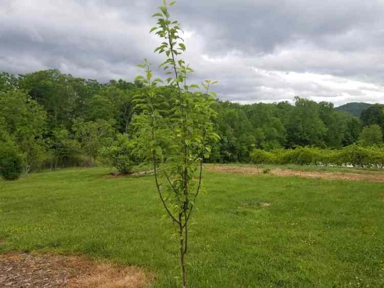 dwarf Bartlett pear tree