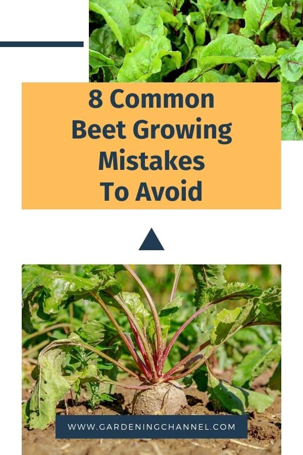 beet greens and beet in garden with text overlay eight common beet growing mistakes to avoid
