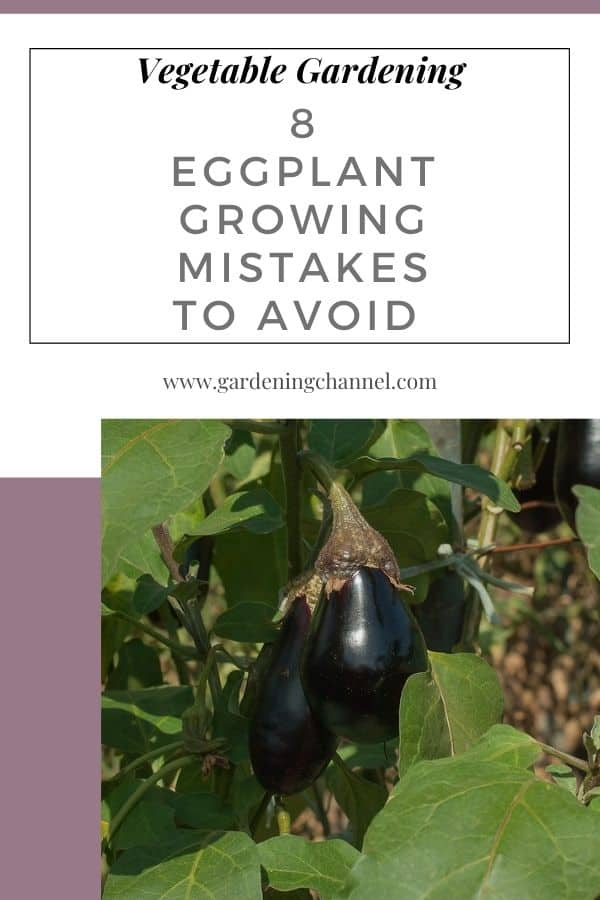 eggplant growing in garden with text overlay vegetable gardening eight eggplant growing mistakes to avoid