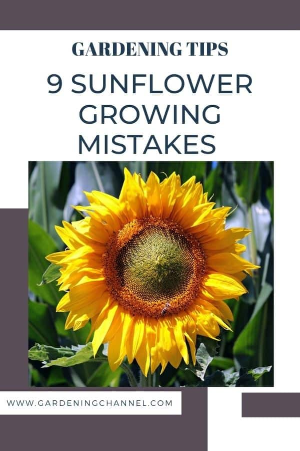 sunflower with text overlay gardening tips nine sunflower growing mistakes