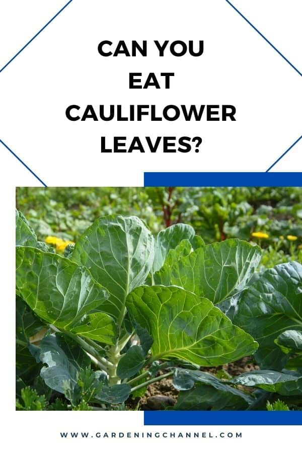 cauliflower growing in garden with text overlay Can you eat cauliflower leaves?