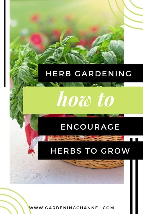 harvested basil with text overlay herb gardening how to encourage herbs to grow