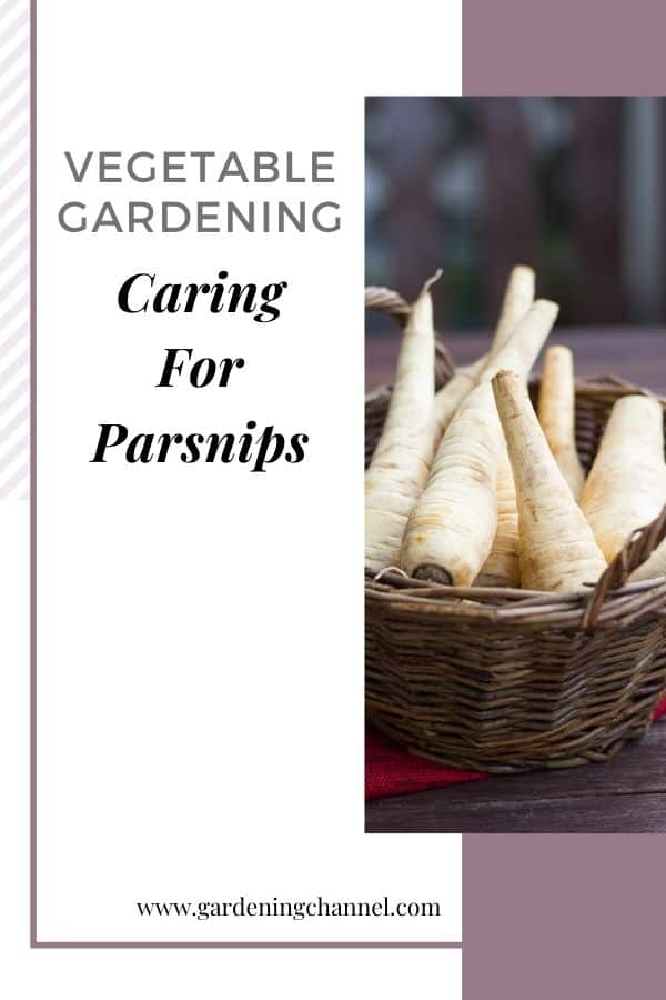 harvested parsnips with text overlay vegetable gardening caring for parsnips