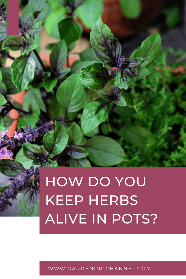 basil and thyme in container with text overlay How do you keep herbs alive in pots?