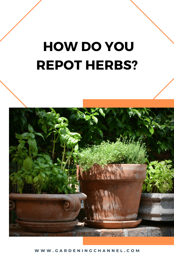 basil and thyme in containers with text overlay How do you repot herbs?