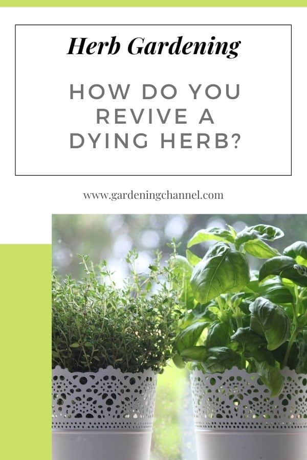 basil and thyme containers on windowsill with text overlay herb gardening How do you revive a dying herb?