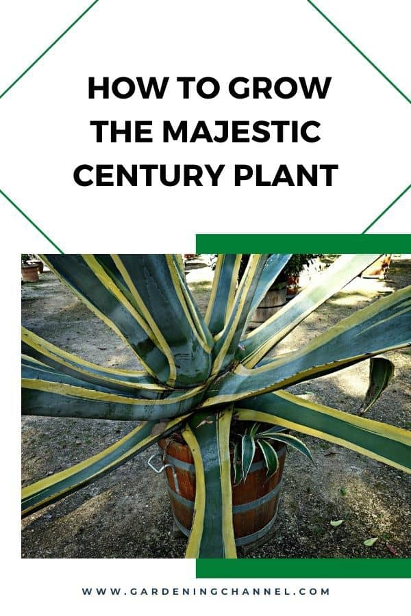 potted majestic century plant with text overlay how to grow the majestic century plant