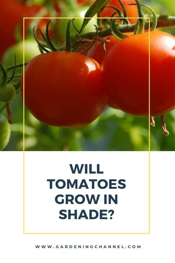 tomatoes in shade with text overlay Will Tomatoes Grow in Shade?