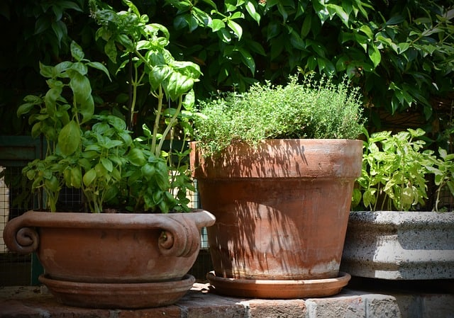 potted herbs in containers