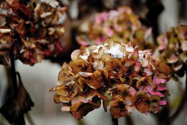 fleur d'hortensia dormante