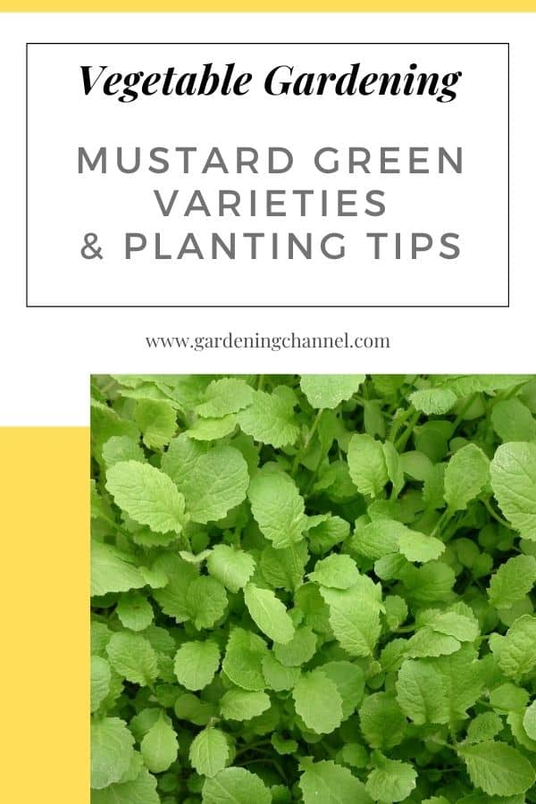 mustard plants with text overlay vegetable gardening mustard green varieties and planting tips