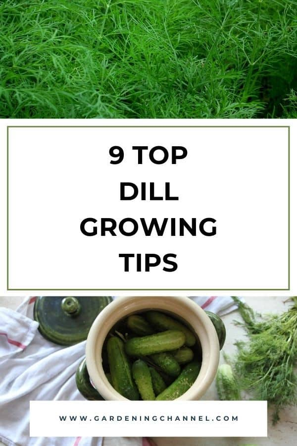 dill herb in garden and pickling cucumbers with dill with text overlay nine top dill growing tips