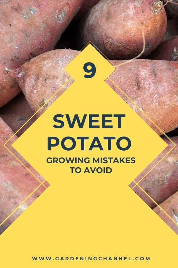 harvested sweet potatoes with text overlay 9 Sweet Potato Growing Mistakes to Avoid