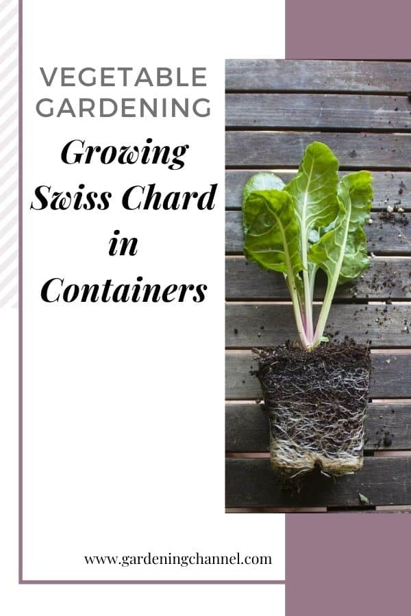 container swiss chard with text overlay vegetable gardening growing swiss chard in containers