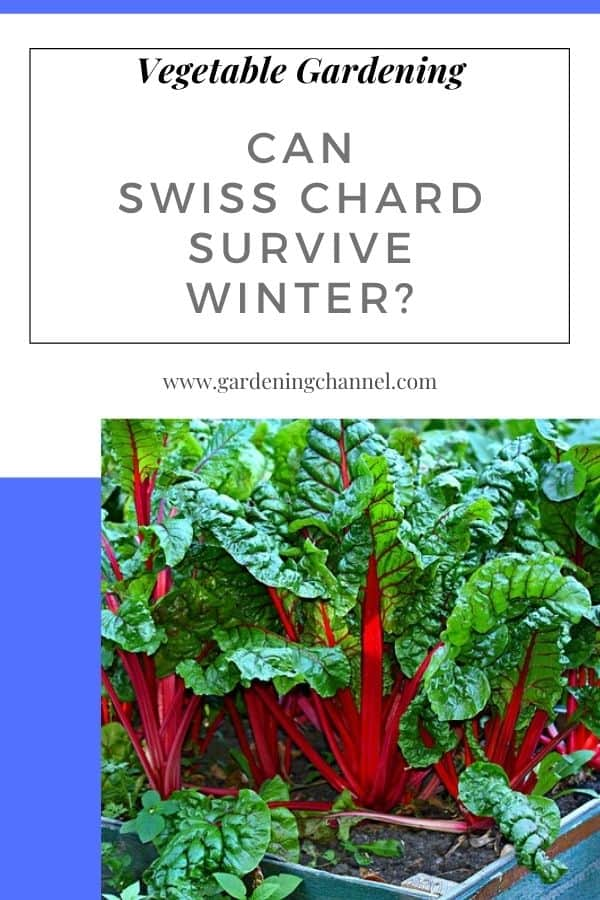 swiss chard in raised bed with text overlay vegetable gardening Can Swiss chard survive winter?