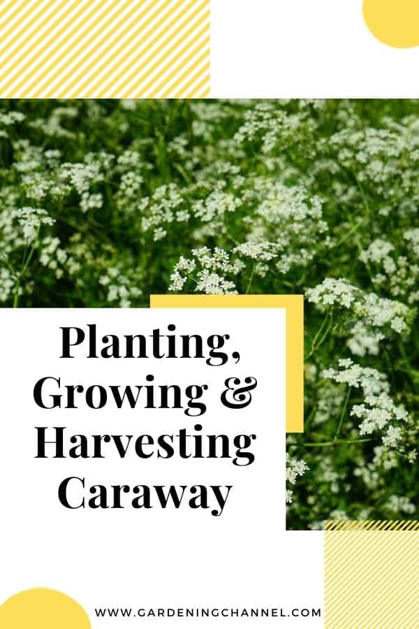 caraway herb with text overlay planting growing and harvesting caraway